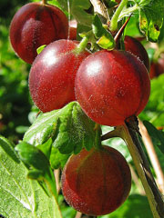 gooseberries-red