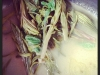 steamed-hogweed-rosebay-willow