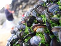 beach-mussels-200px