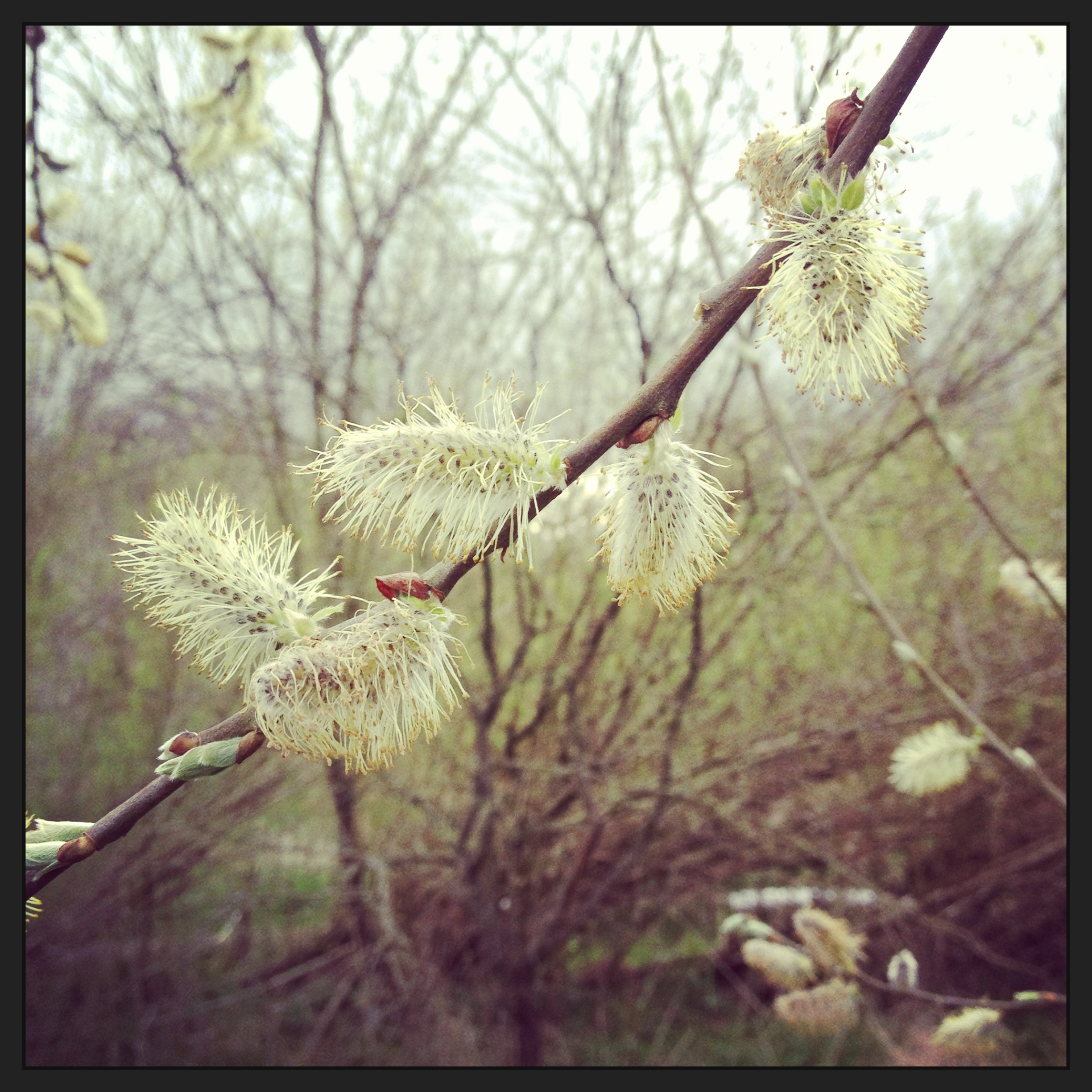 White willow catkins