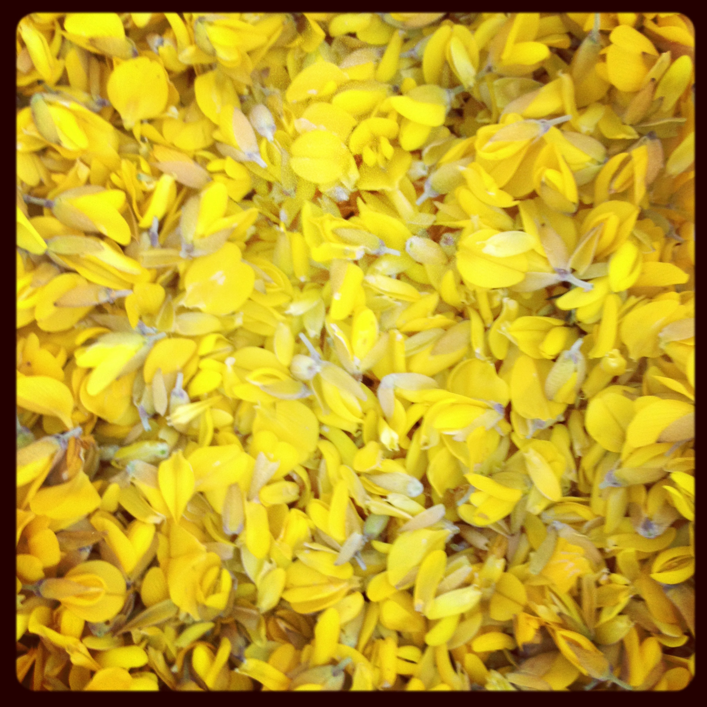 Gorse Flower Syrup