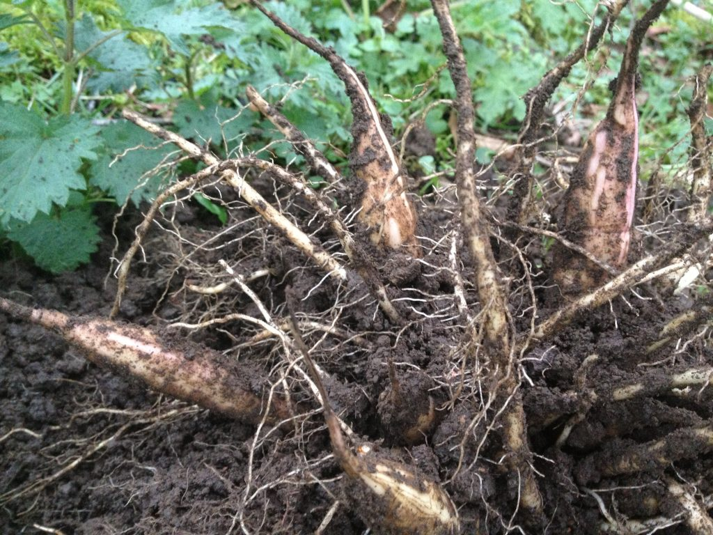 Hemlock Water Dropwort roots