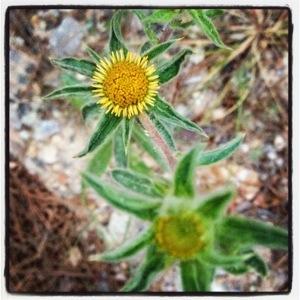 Spiny golden star (Pallenis spinosa)