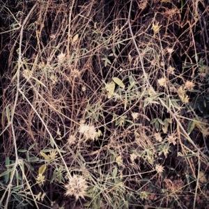 Arabian pea or pitch trefoil (Bituminaria bituminosa)