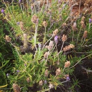 Wild lavender (Lavendula angustifolia)