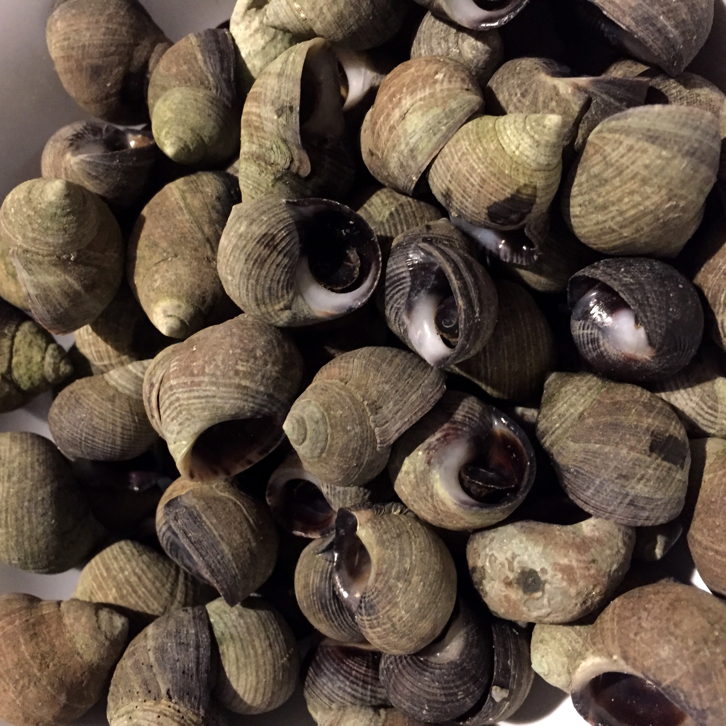 Steamed winkles in the shell