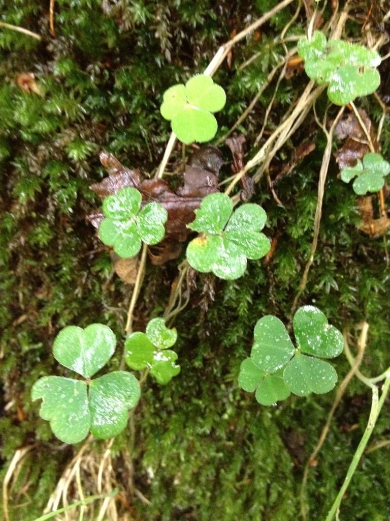 Wood Sorrel (Oxalis acetosa)