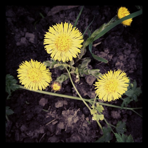 coltsfoot-flowers