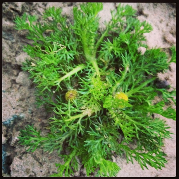 pineapple-mayweed