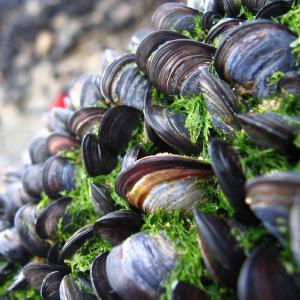 mussels-seaweed