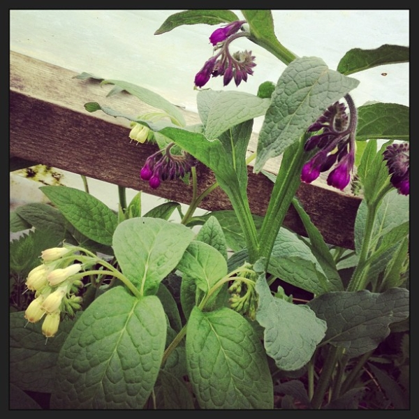 which-comfrey