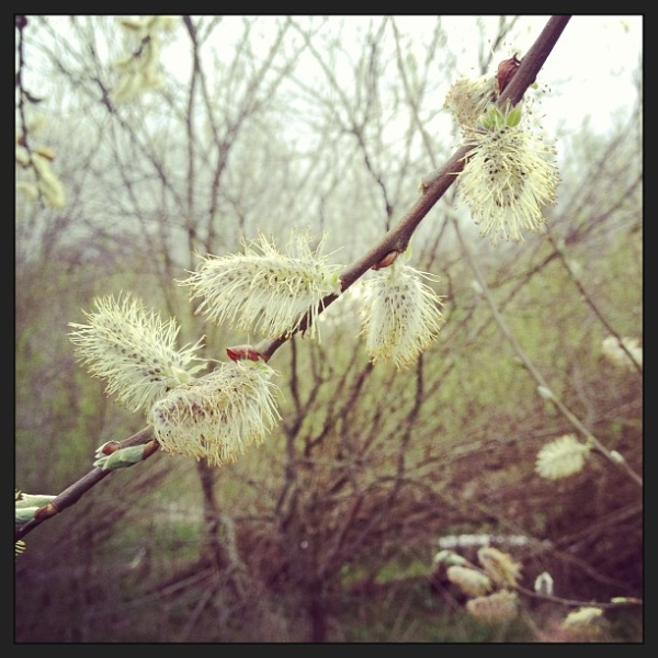 White willow in bloom